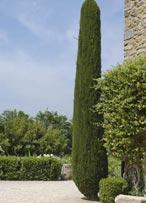 Le cyprès de Provence et sa forme colonnaire typique