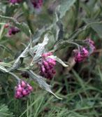 La consoude stimule la croissance et la floraison des plantes, utilisée en purin; alors qu'en décoction elle combat la mouche blanche et les pucerons.