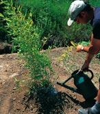 arroser le bambou