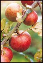 Conservez ainsi vos pommes