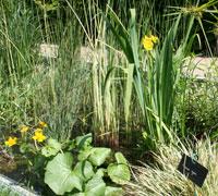 Iris pseudoacorus et Caltha palustris - Jardin à la rue - J. Maieli et G. Bourré