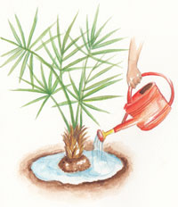Une cuvette se forme autour du palmier, pour faciliter l'arrosage