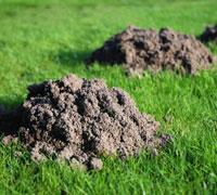 Les taupinières dans une pelouse la rendent très inesthétiques