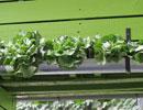 Cultiver des salades dans une ancienne gouttière