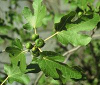 Ficus carica, figuier à fruits