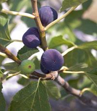 Le figuier et ses fruits au gôut unique