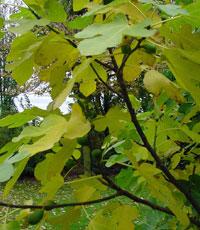 Les feuilles du figuier sont très décoratives