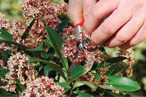 Tailler les arbustes floraison printani re skimmia lilas forsythia gamm vert - Tailler orchidee apres floraison ...