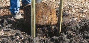 Sortez la motte du conteneur et placez-la, bien à la verticale dans le trou de plantation - Crédit photo Colour your life