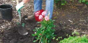 Creusez un trou de plantation suffisamment profond et large pour que la motte ne soit pas à l'étroit - Crédit photo Colour your life