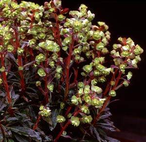 Euphorbia amygdaloides Purpurea