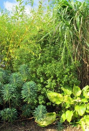 Nuances de vert et jaune avec l'euphorbe, hosta, miscanthus, bambou...