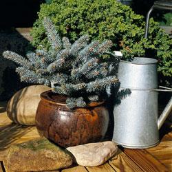 Le pin nain en pot reste décoratif tout au long de l'hiver