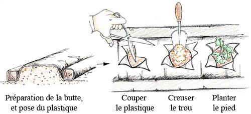 Planter vos fraisiers sur un paillis plastique