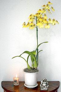 Cymbidium et ses fleurs jaunes