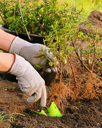 Plantez en racines nues en automne-hiver