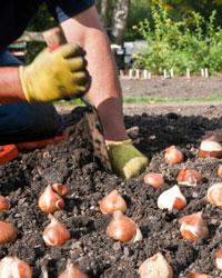 Planter les bulbes à différentes saisons selon leur floraison