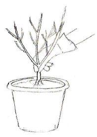 Trempez les racines nues dans le pralin
