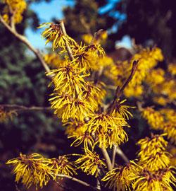 Fleurs jaunes hiver for Floraison hiver