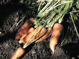 Semez radis et carottes en même temps