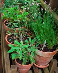 Les plantes aromatiques sont de très bonnes plantes compagnes des potagères
