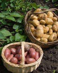 Plantez des pommes de terre, faciles à cultiver elles se conservent longtemps