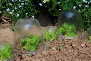 Entretien des salades et laitues gamm vert for Entretien salade jardin