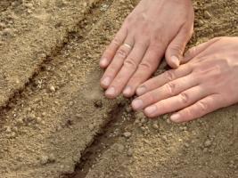 Recouvrez légèrement de terre les semis
