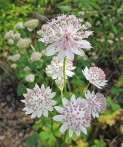L'astrante, une fleur facile