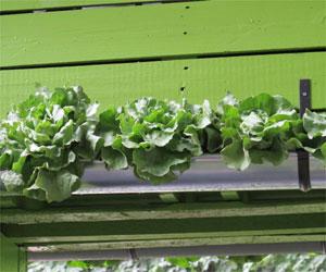 Cultivez des légumes dans des gouttières pour gagner de la place au sol