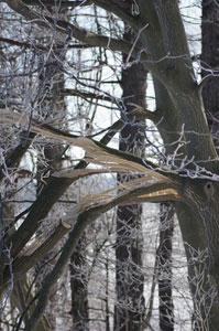 Attention aux branches qui cassent sous le poids de la neige et l'effet du gel