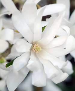 Le Magnolia stellata et ses étoiles blanches