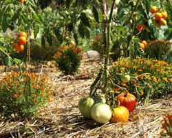 Paillez pour aider vos légumes à se développer sans souci