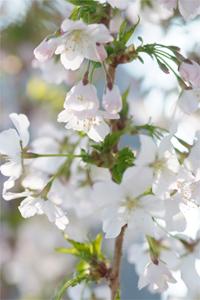 Le Prunus kurilensis Briljant