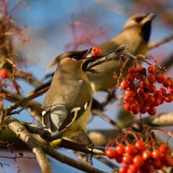 Les arbustes à baies plaisent beaucoup aux oiseaux
