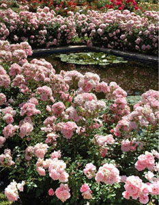 Rosier 'Magic Meillandecor®' Meibonrib