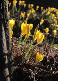Le sternbergia fleurit en automne dans les sous-bois