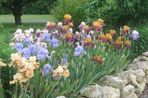 Mariez les iris de divers coloris entre eux et formez des bordures colorées !