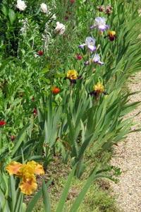 Bordure d'iris à Giverny