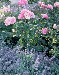 Que planter a cote des rosiers - Planter un rosier grimpant ...