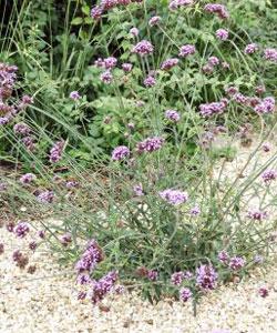 Le paillis rend bien des services au jardinier naturaliste