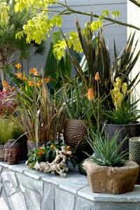 plantes en pot sp cial s cheresse gamm vert. Black Bedroom Furniture Sets. Home Design Ideas