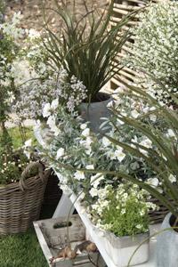 Phormium et fleurs en pot