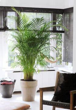 palmier cadeau des dieux gamm vert. Black Bedroom Furniture Sets. Home Design Ideas