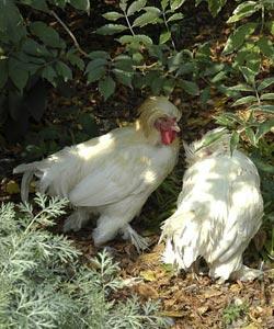 Les poules naines sont plus jolies et font moins de dégâts...