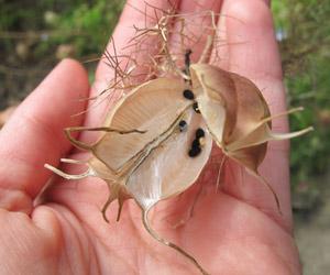 Les graines sont enfermées au coeur du fruit, ici le fruit de la nigelle de Damas
