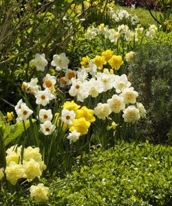 Les bulbes naturaliser crocus muscaris jacinthe for Planter oignon amaryllis