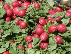 Consommez les radis rapidement après les avoir arrachés