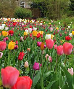 Les tulipes et leurs nombreux coloris créent un magnifique tapis floral