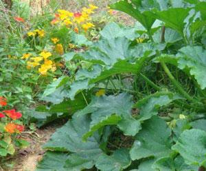 Semer et cultiver ses courgettes - Faire pousser des courgettes ...